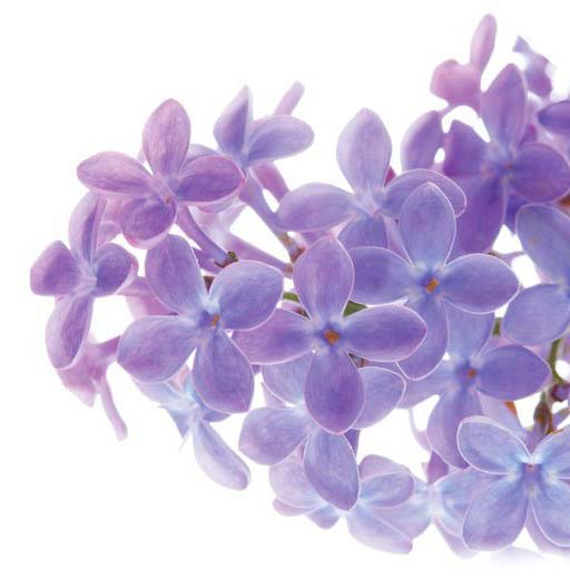 Fleurs violettes lavande